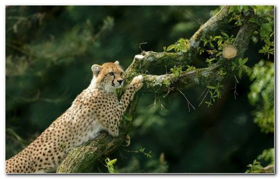 Image Cheetah Terrestrial Animal Wildlife Wilderness Leopard