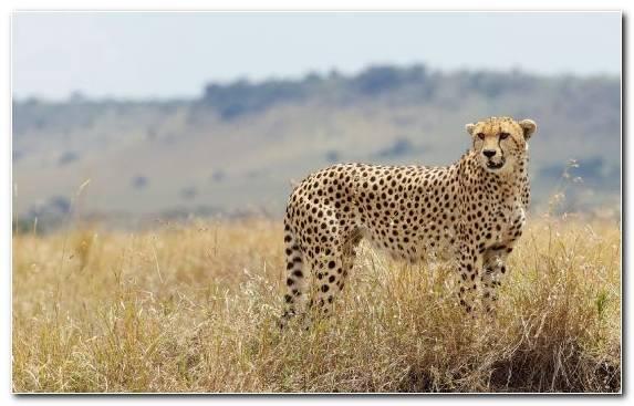 Image Cheetah Wildcat Ecosystem Desert Cat