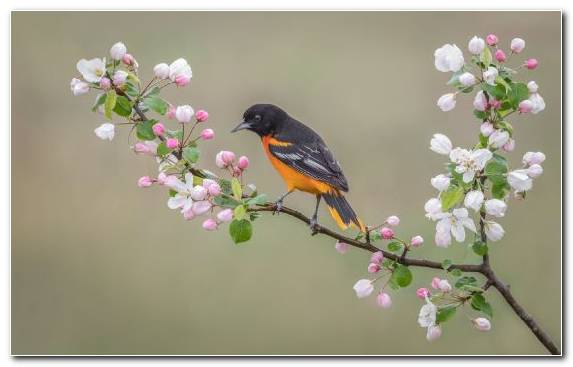 Image Cherry Blossom Color Bird Blossom Branch