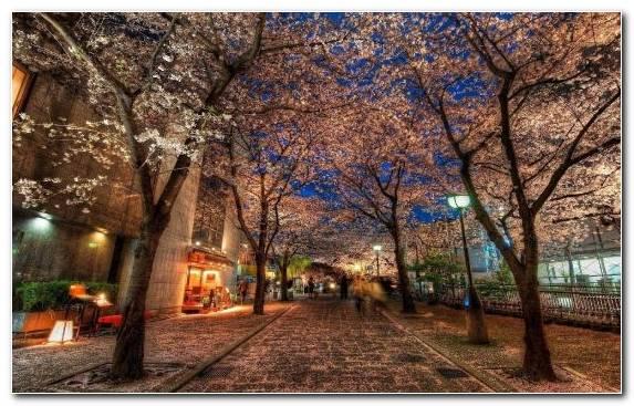 Image Cherry Blossom Evening Hanami Spring Kyoto