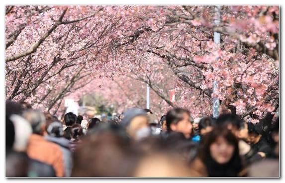 Image Cherry Blossom Pink Spring Flower Festival