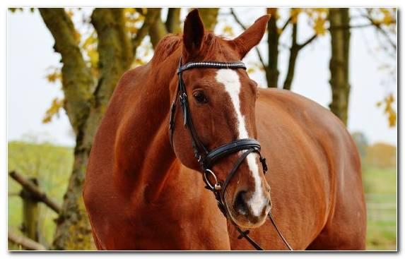 Image Chestnut Mane Horse Horses Halter