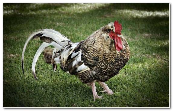 Image chicken kifaranga chicken meat beak phasianidae