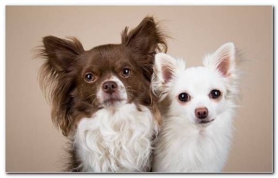Image Chihuahua Dog Breed Dog Dog Like Mammal Puppy