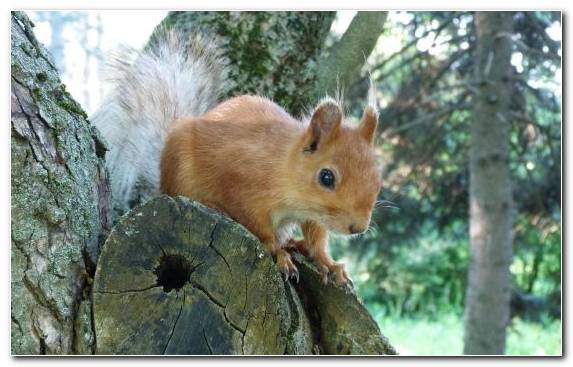 Image Chipmunk Red Squirrel Rodent Tree Squirrel Squirrel