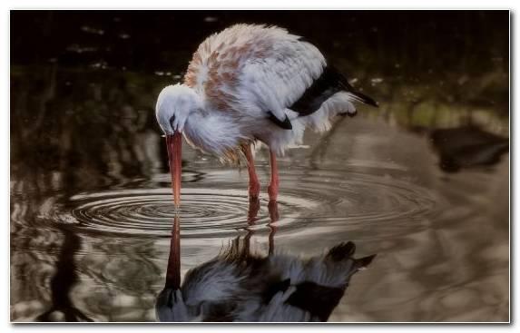 Image Ciconiiformes Crane Like Bird Stork White Stork Water