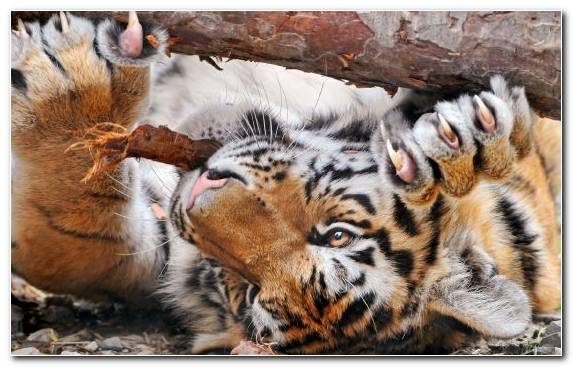 Image Claw Bengal Tiger Siberian Tiger Animal Snout