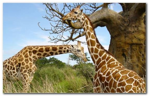 Image Clip Art Grazing Wildlife Ecosystem Cheetah