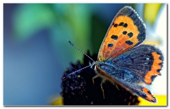 Image Close Up Animal Moths And Butterflies Brush Footed Butterfly Butterfly