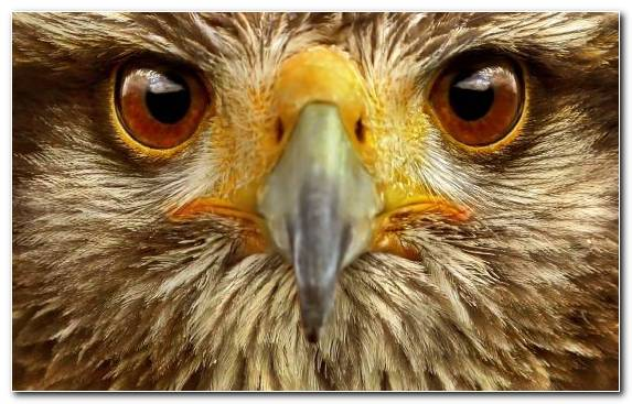 Image Close Up Bird Eye Bird Of Prey Animal