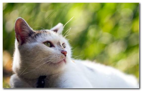 Image Close Up European Shorthair Turkish Van Eye Face