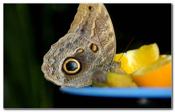 Image Close Up Insect Pollinator Brush Footed Butterfly Butterfly