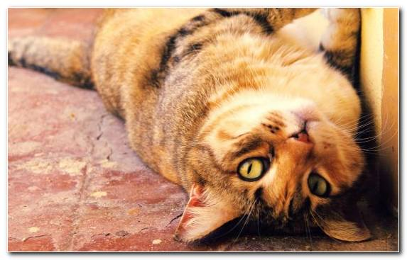 Image Close Up Whiskers Dragon Li Tortoiseshell Cat Big Cat