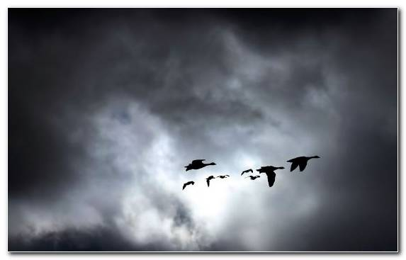 Image Cloud Flight Flock Cumulus Birds In A Storm