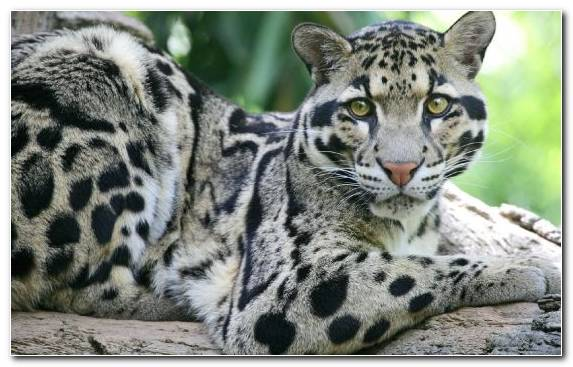 Image Clouded Leopard Moustache Big Cat Leopard Terrestrial Animal