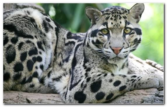 Image Clouded Leopard Moustache Big Cat Leopard Terrestrial Animal