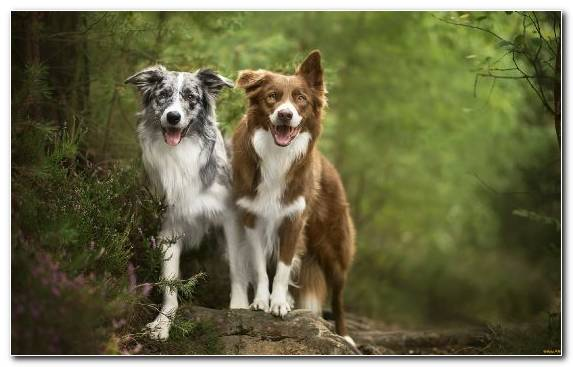 Image Collie Border Collie Herding Dog Companion Dog Welsh Sheepdog