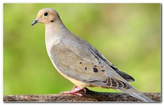 Image Columbidae Bird Nicobar Pigeon Mourning Dove Wildlife