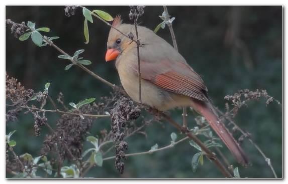 Image Common Chaffinch Emberizidae Wildlife Branch Old World Flycatcher