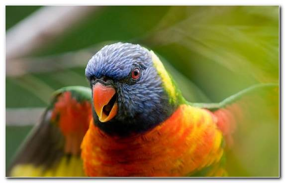 Image Common Pet Parakeet Beak Close Up Lorikeet Macaw
