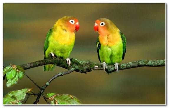 Image Common Pet Parakeet Lovebird Drawing Cuteness Bird