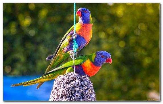 Image Common Pet Parakeet News Lorikeet Bird Perico