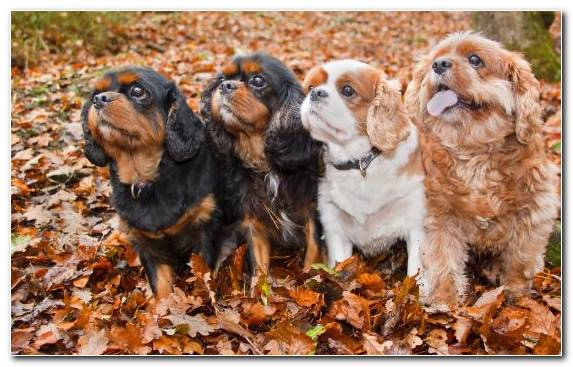 Image Companion Dog English Cocker Spaniel Shetland Sheepdog Dog Breed Cavalier King Charles Spaniel