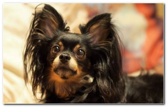 Image companion dog toy dog breed papillon dog yorkshire terrier
