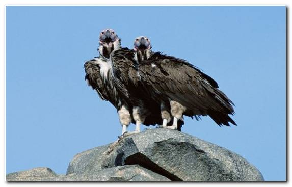 Image Condor Vulture Accipitriformes Beak Andean Condor