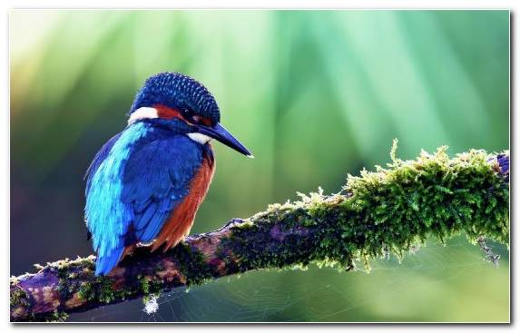Image Coraciiformes Wildlife Bluebird Kingfisher Bird