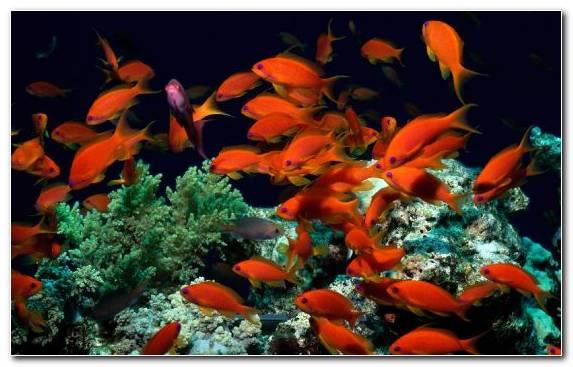 Image Coral Underwater Coral Reef Fish Pomacentridae Coral Reef
