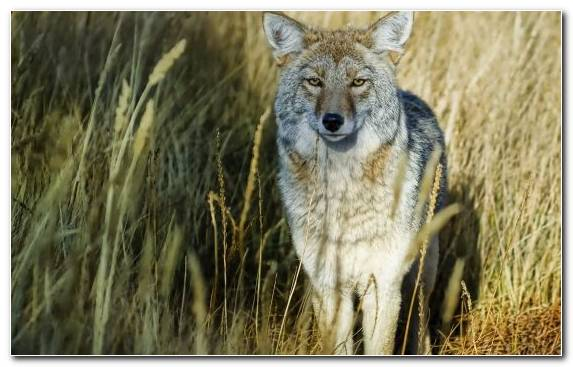 Image Coyote Fauna Jackal Wildlife Wilderness