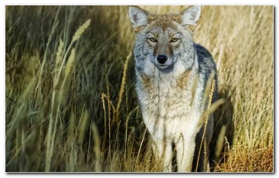 Image Coyote Fauna Jackal Wildlife Wilderness