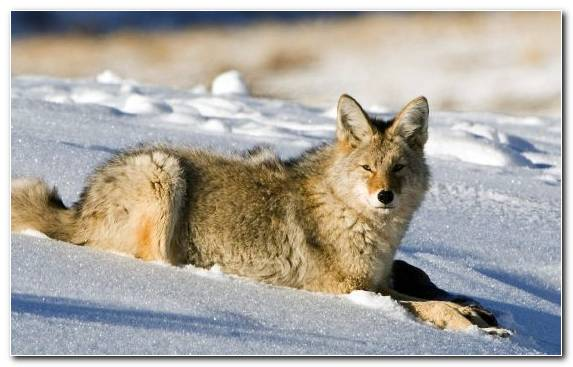 Image Coyote Lamar Valley Fauna Jackal Wildlife