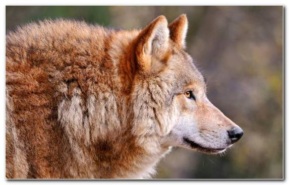 Image Coyote Profile Fauna Wildlife