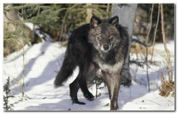 Image Coyote Snow Wildlife Fauna