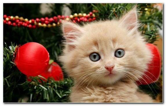 Image Cuteness Christmas Kitten Snout New Year