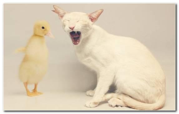 Image Cuteness Fauna Kitten Mandarin Duck Bird