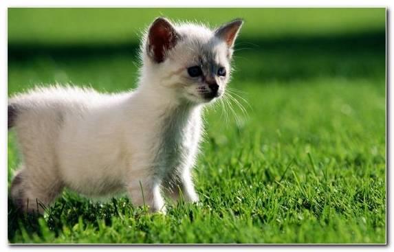 Image Cuteness Kitten Mammal Siamese Cat Persian Cat