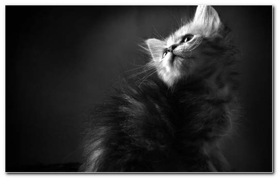 Image Cuteness Monochrome Photography Black And White Kitten Black Cat