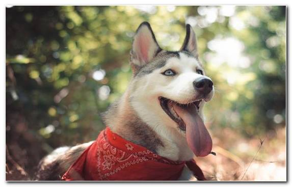 Image cuteness sakhalin husky husky dog breed German Shepherd