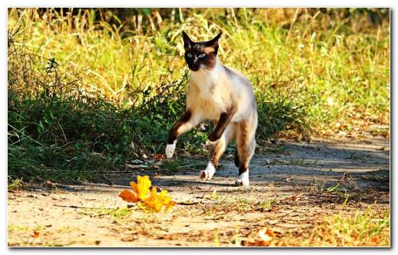Image Cuteness Siamese Cat Black Cat Cat Breed Plant