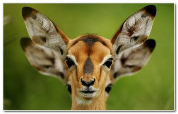 Image Cuteness Terrestrial Animal Impala Snout Fauna
