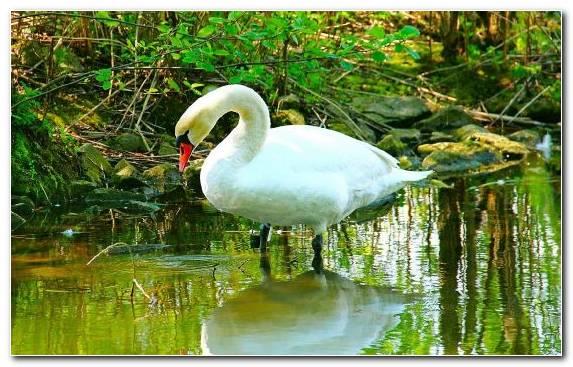 Image Cygnini Fauna Beak Water Water Bird