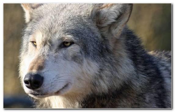 Image Czechoslovakian Wolfdog Snout Dog Like Mammal Fauna Saarloos Wolfdog