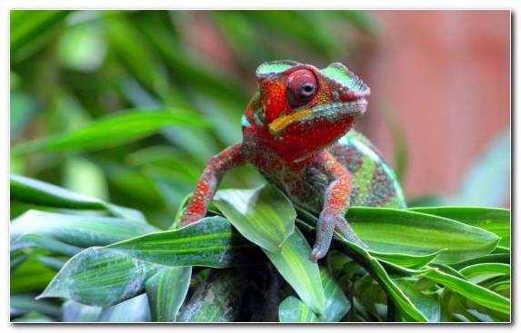 Image Dactyloidae Iguania Macro Photography Chameleons Scaled Reptile