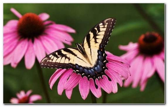 Image Damselfly Nectar Insect Coneflower Flower