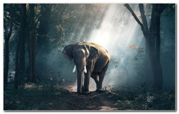 Image Darkness Elephants And Mammoths Elephants Nature African Forest Elephant