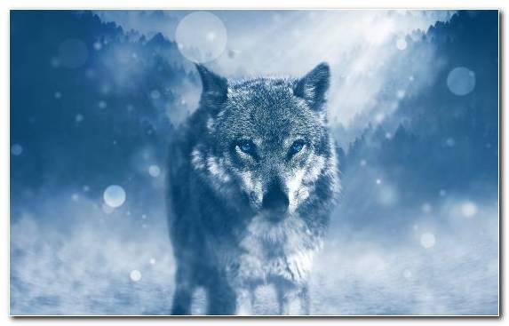 Image Daytime Snout Wolf Freezing Black Wolf