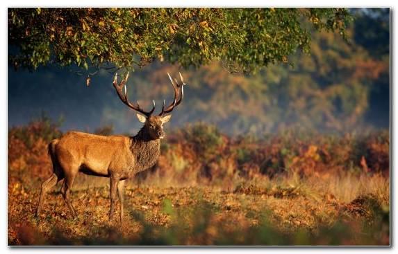 Image Deer Ecosystem Grazing Woodland Antler